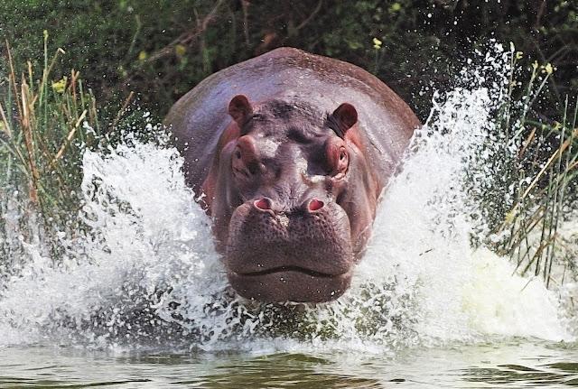 A aparência pacata e lenta do hipopótamo não faz dele menos perigoso, porque de pacato, ele nada tem. Mesmo chegando a pesar mais de 3 toneladas e possuindo pernas bem curtas, sua velocidade surpreende ao alcançar os 30 km/h em terra firme, podendo alcançar uma pessoa facilmente. E, ainda que sendo herbívoro, portanto, não caçando para se alimentar, esse animal possui uma bocarra com abertura total de quase 180°, e dentes que, além de se afiarem pela simples fricção entre si, crescem continuamente, podendo atingir os 50 cm. .