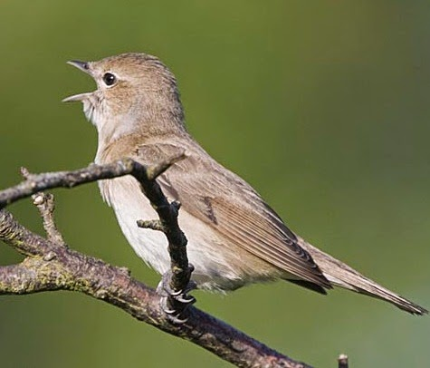 Kicau merdu burung garden warbler