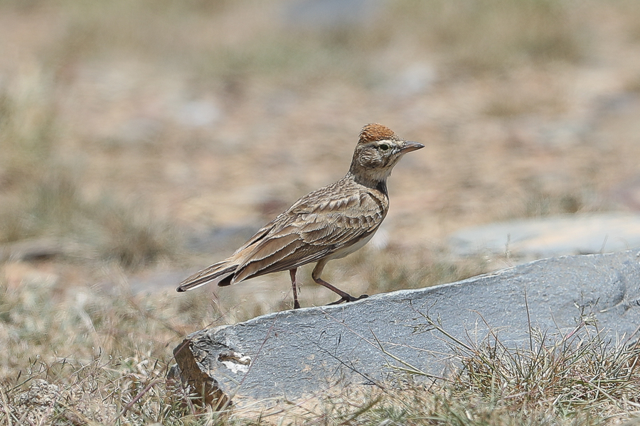 Blandford's Lark in the Talea'a Valley – Abha