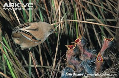 Panurus biarmicus female with chicks