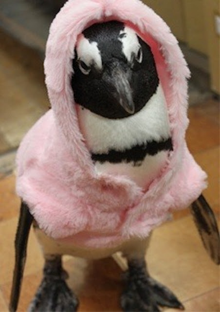 Adorable little penguin in a fuzzy pink hoodie. No Kicking Penguins and other penguin stories. marchmatron.com