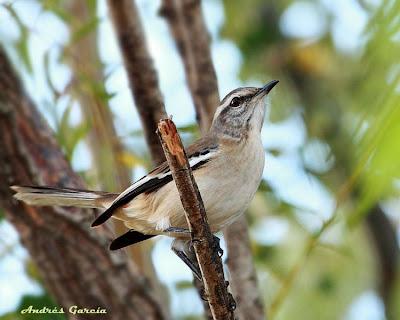 White banded Mockingbird
