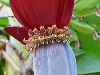 Bananier - Banane - Musa