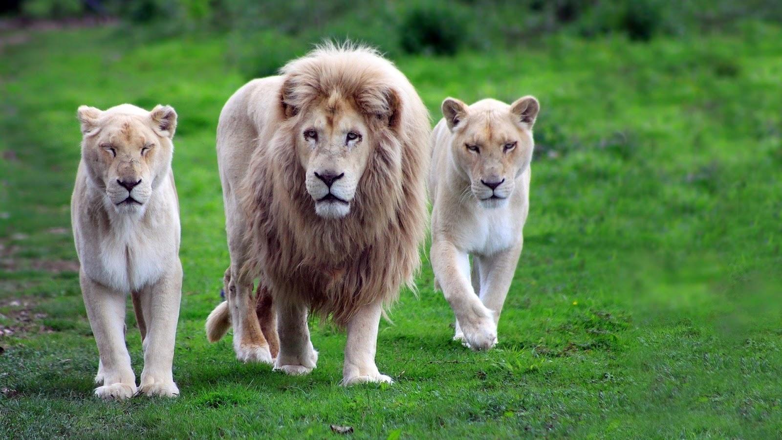 Online Wallpapers Shop: Lion Pictures, Images & Wallpaper