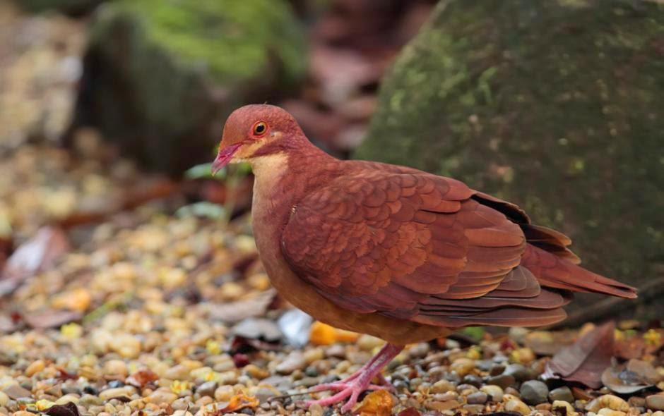 Ruddy quail dove
