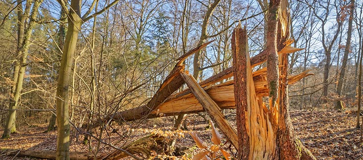 Windsnapped tree after severe weather