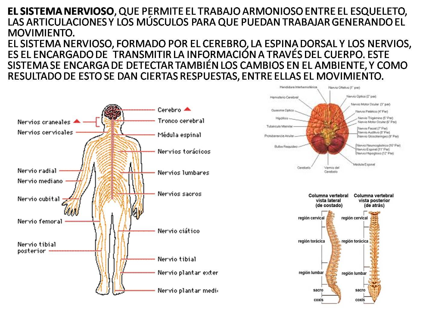 Lujo Nervios Columna Vertebral Anatomía Colección de Imágenes ...