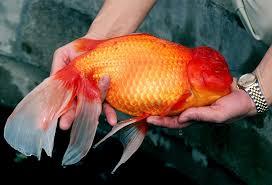 Cara Merawat Ikan Mas Koki Agar Cepat Besar Dan Tidak Mudah Mati