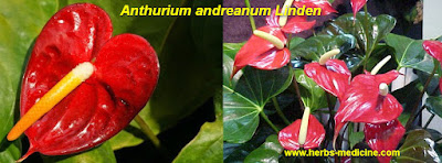 Diabetes use Anthurium andreanum