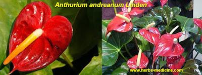 Diabetes use Anthurium andreanum