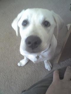 "alt=""North Texas Retriever Trainers puppy"""