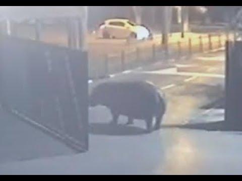 В Израиле бегемот сбежал из зоопарка, но передумал и вернулся