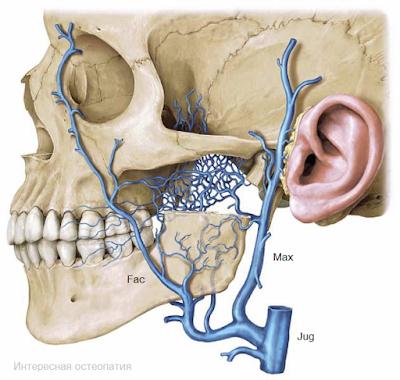 Крыловидное сплетение - венозная сеть в центре рисунка. Сплетение связано с глубокой веной лица (Fac) и верхнечелюстной веной (Max), которые в свою очередь впадают во внутреннюю яремную вену.