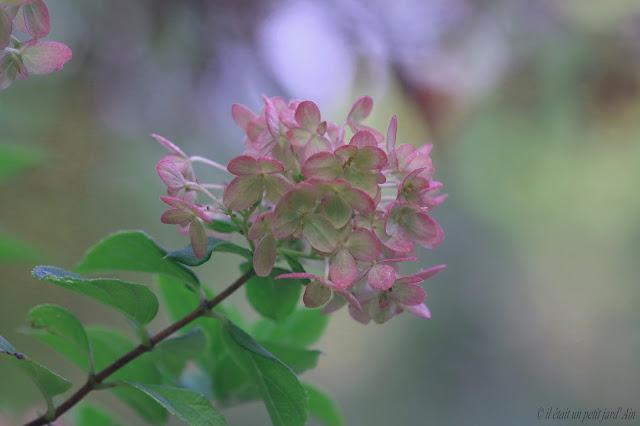 petit hortensia très florifère