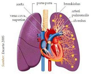 Cara Kerja dan Fungsi Paru-paru sebagai Alat Ekskresi