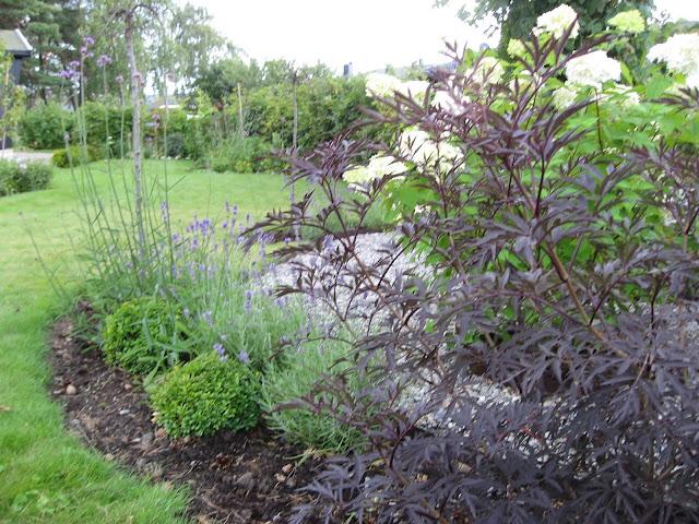 Samplanting av Kjempeverbena og Lavendel i perspektiv. Furulunden