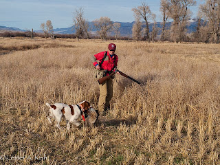 Brittany retrieving a pheasant, Sanborn's Fish Kreek Ranch, Montana