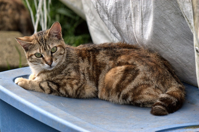 little brown tabby feral cat has a half-tail