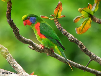 Red flanked lorikeet