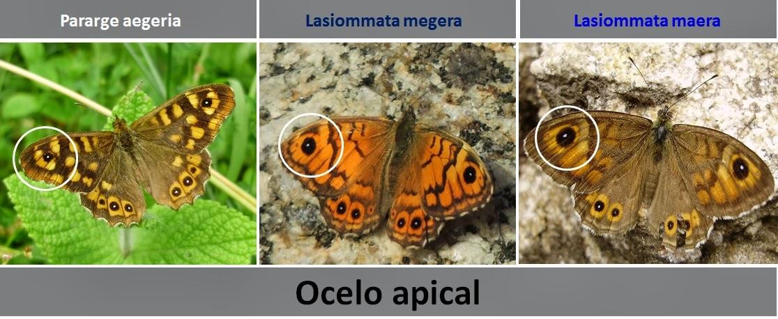 Diferencias ocelo Pararge aegeria, Lasiommata megera y Lasiommata maera