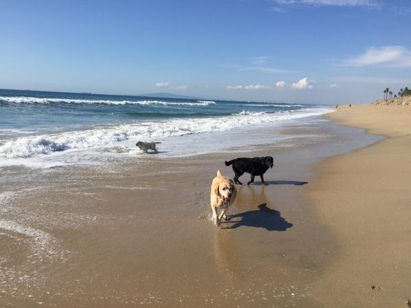 Labradors Huntington Dog Beach