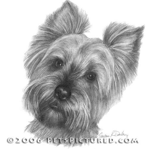 12-Yorkshire-Terrier-Susan-Donley-Cats-and-Dogs-Featured-in-Pencil-Portraits-www-designstack-co