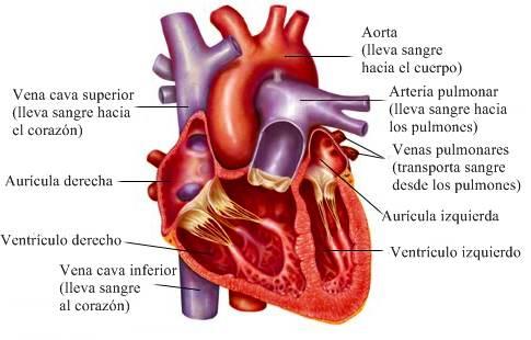 Anatomía del corazón humano: cavidades, aurículas, ventrículos ...
