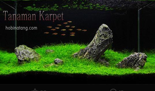 12 Jenis Tanaman Karpet Aquascape Yang Mudah Untuk Pemula Hobinatang