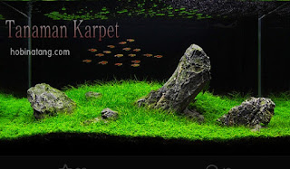 Jenis Tanaman Karpet Aquascape