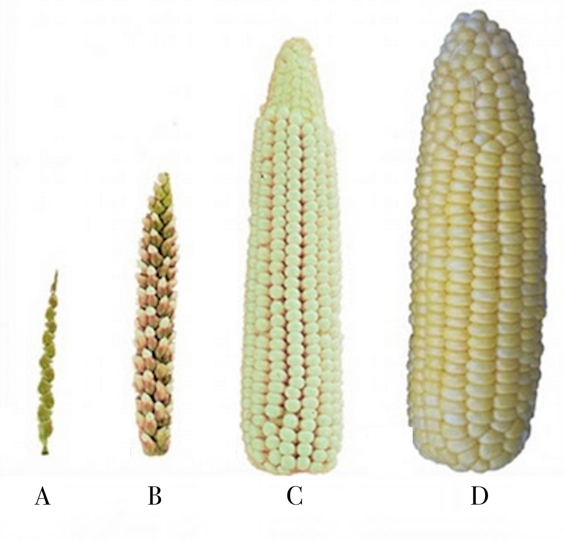 Selective Breeding Corn Vs Natural Selection