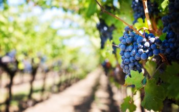 Wallpaper: Ripe Grapes in Vineyard