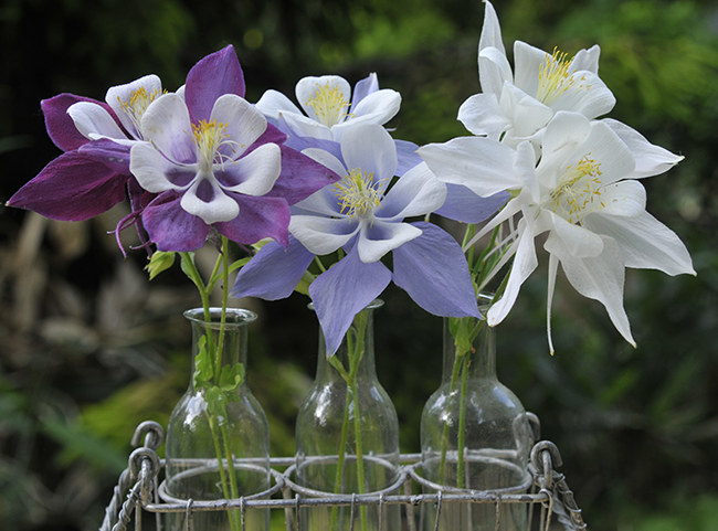 Growing With Plants How To Grow Columbine From Seed Worthy Of A