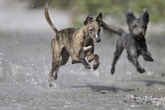 A whippet and a small mixed-breed dog running through a puddle