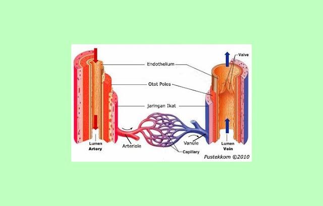Arteri, Vena, Kapiler, Arteriol, Venule