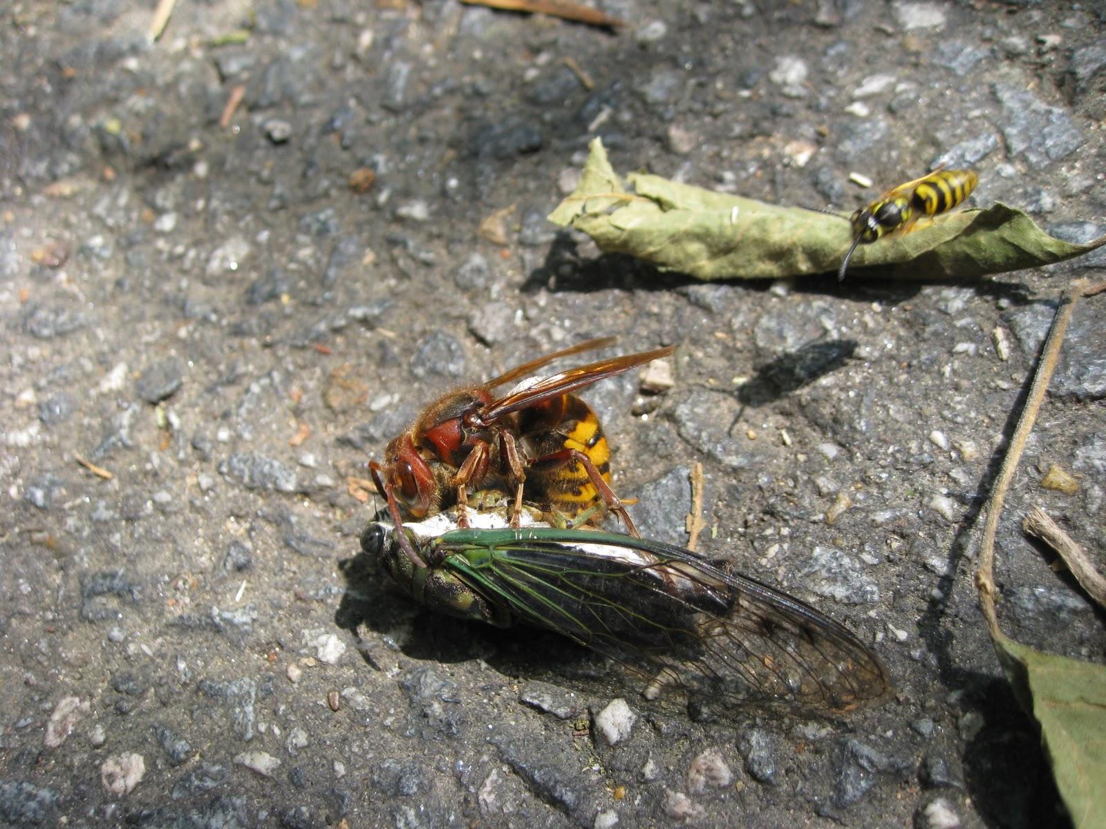 Hornet Deutsch