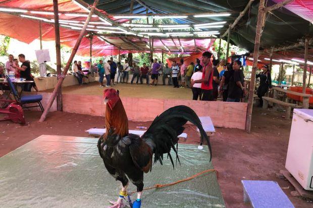 Sekilas Mengenai Tradisi Sabung Ayam di Sarawak Malaysia