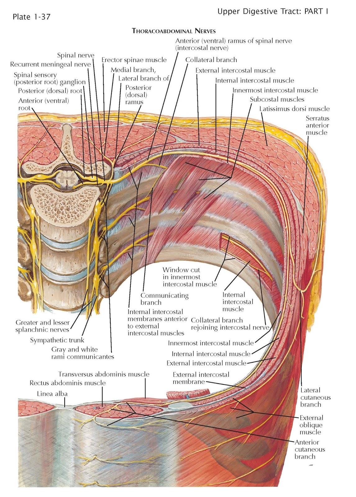 linea subcostal