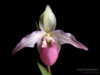 Phragmipedium Sedenii