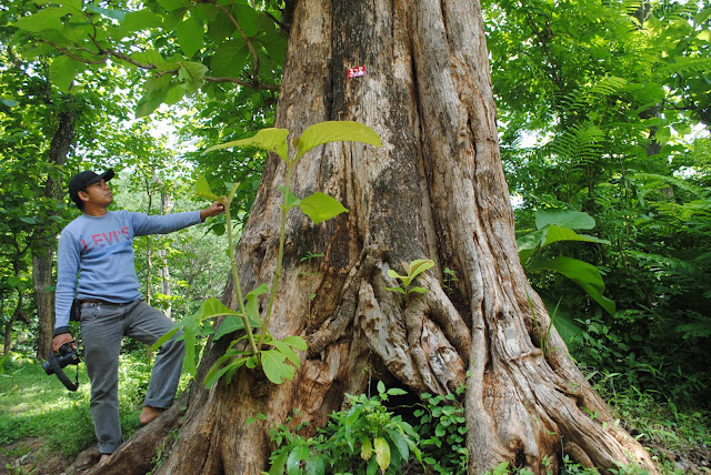 pohon jati donoloyo