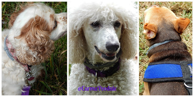 3 dogs wearing #seresto collars