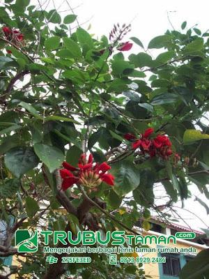 Tukang Taman Jakarta-pohon dadap merah