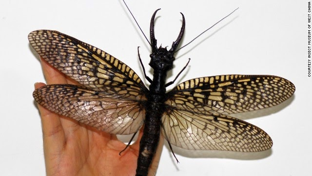 Dobsonfly gergasi