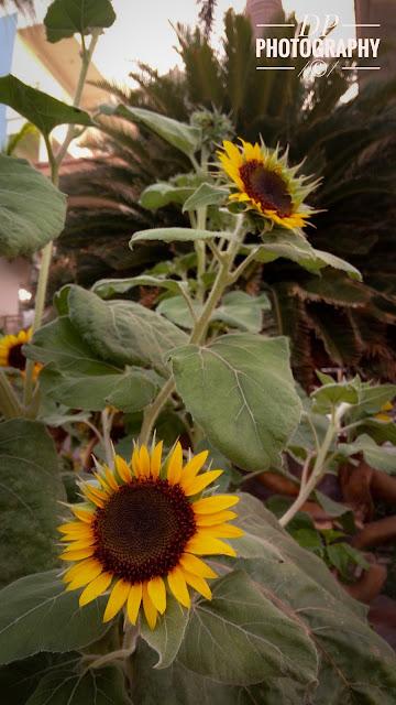 Dhaval Halpani , Sunflower