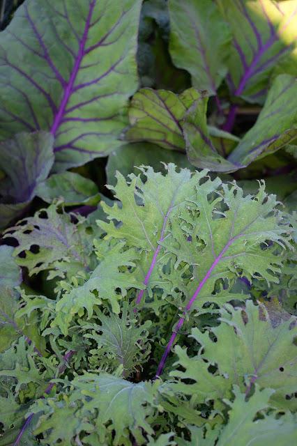 Brassica napus 'Red Russian', Brassica oleracea 'Kalibos