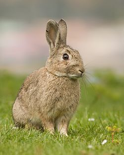 Gambar kelinci lucu berbulu warna cokelat di rumput