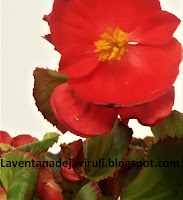 flor-begonia-semperflorens