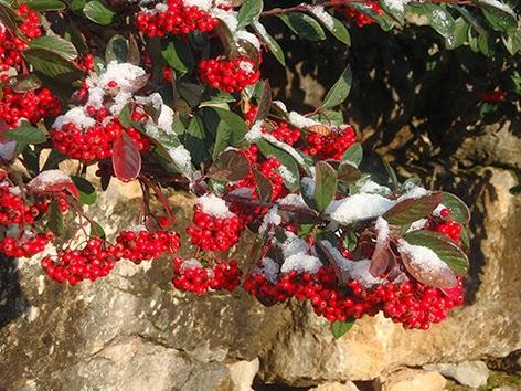 Cotoneaster en invierno