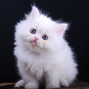Koleksi Kucing Comel Jiwarosak Com