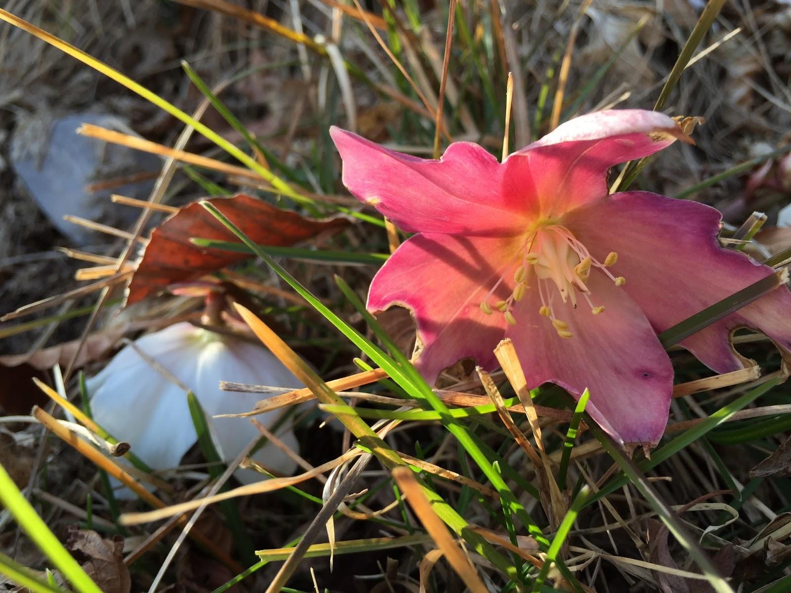 Helleborus niger [Ranunculaceae]. Christmas Rose.