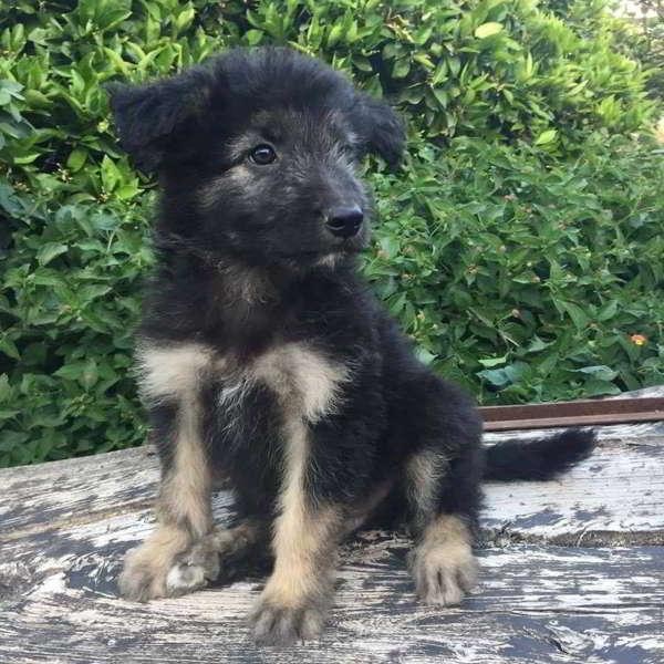 cachorro de cruce pastor alemán